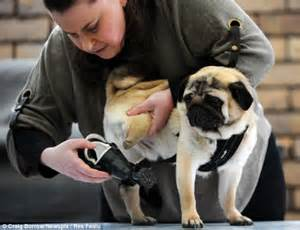 pug rescue centre uk pug who s learning to walk again after he was fitted with a prosthetic daily mail