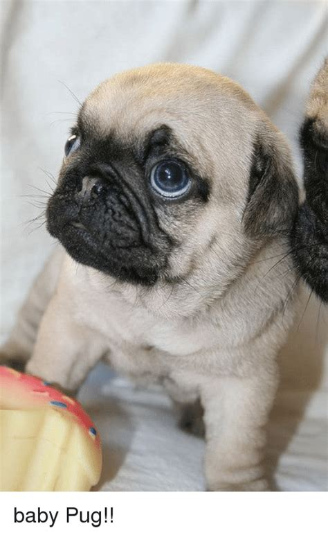 pugs maine baby pugs www pixshark images galleries with a bite