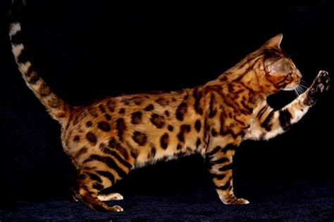 bantal cat animal 4you bengal cat