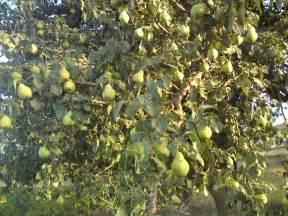 Money Tree Plant Diseases - list of pear diseases
