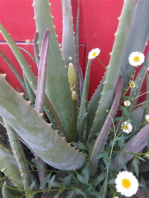 pianta aloe vera in casa perch 233 coltivare una aloe vera in casa o terrazzo green