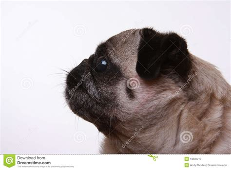 pug side side profile of a pug royalty free stock photography image 10832277