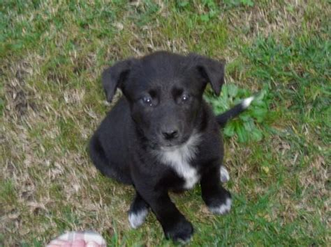 blue heeler lab mix puppies for sale blue heeler lab mix puppies quotes