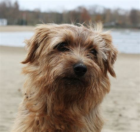 terrier puppy norfolk terrier photo and wallpaper beautiful norfolk terrier pictures