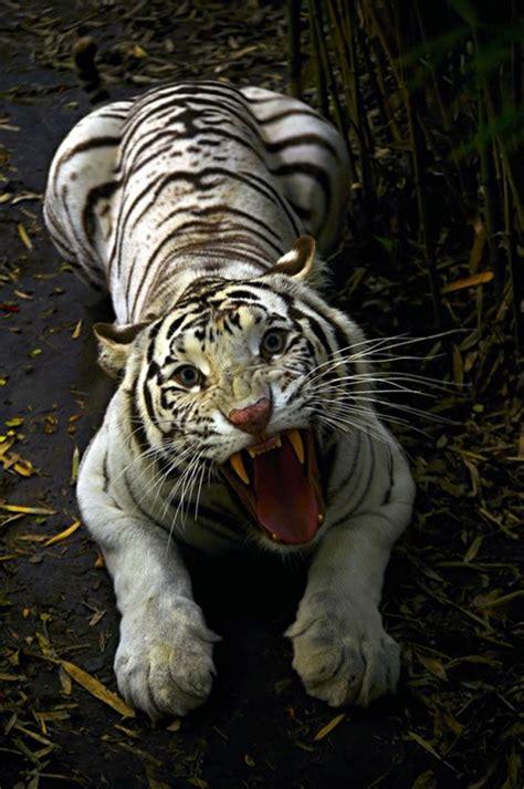 minicuentos de tigres y 8448837118 17 mejores ideas sobre tigre de bengala en tigres tigres blancos y tigre siberiano