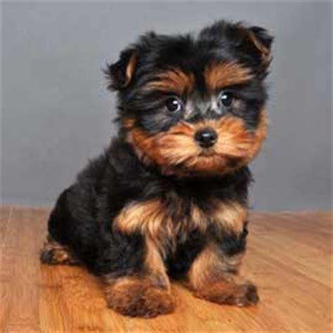 shih tzu x silky terrier shih tzu x australian silky terrier puppies for sale in laidley breeds picture