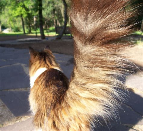 10 Super Fluffy Cat Tails   Catster
