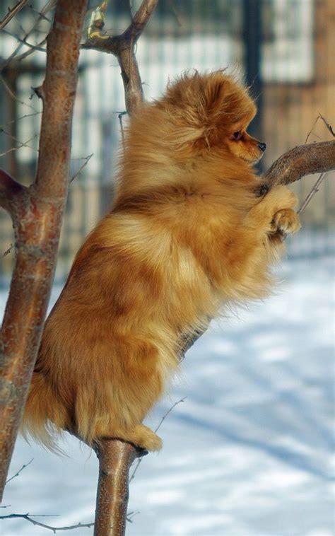 what do pomeranians eat best 25 pomeranian dogs ideas on