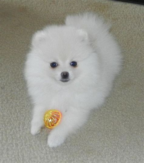 where do pomeranians live 157 best pomeranian puppies for sale images on