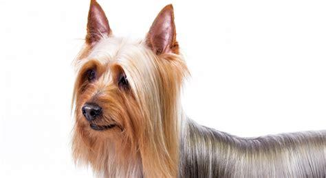 silky terrier puppy silky terrier breed information american kennel club