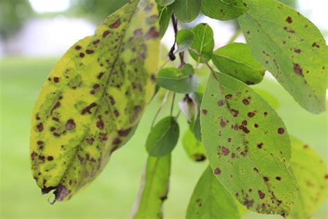 common diseases tree diseases and pests of minnesota