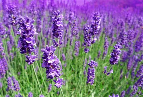 Lavender 15ml lavender essential tinderbox