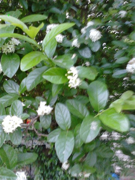 fragrant trees with white flowers tree with small white fragrant flowers 28 images