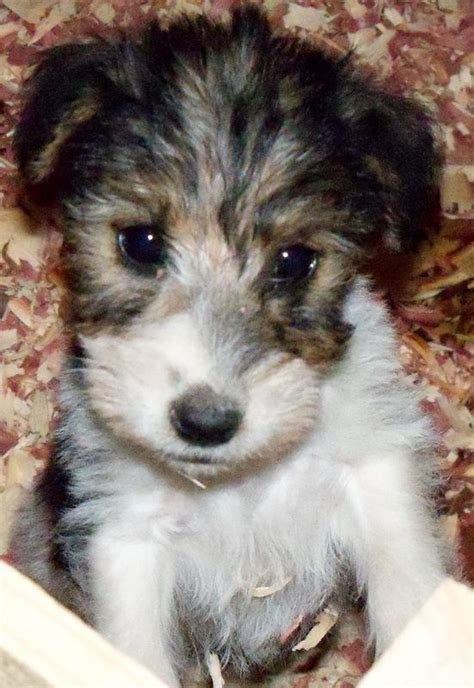 wire fox terrier puppies 1000 images about wire fox terrier on for dogs pets and puppys