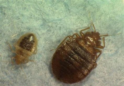 bed bugs vs lice head louse on bed pictures to pin on pinterest pinsdaddy