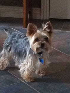 yorkie rear end with long hair pictures yorkie haircuts and haircut styles on pinterest