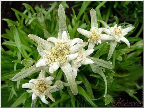 wallpaper bunga edelweis gambar bunga edelweis cantik dan mempesona