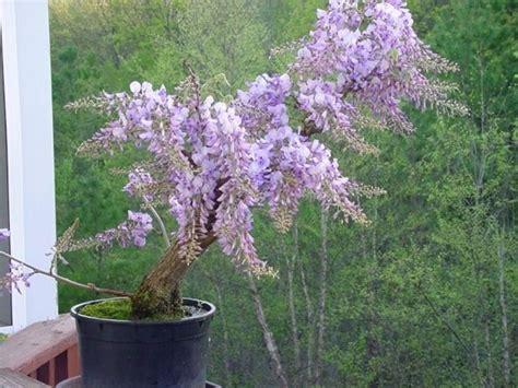 glicine in vaso prezzo glicine in vaso piante da terrazzo glicine in vaso pianta