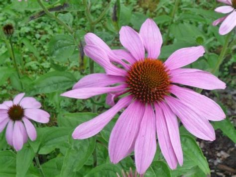pink daisy like flower with black center with orange