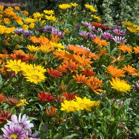 Plantes Et Jardins by Gazania Plantes Et Jardins