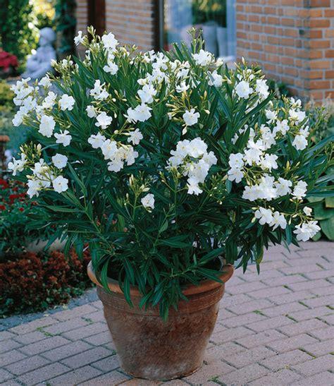 Oleander Im Garten Pflanzen 4461 by Oleander Mix Top K 252 Belpflanzen Kaufen Baldur Garten