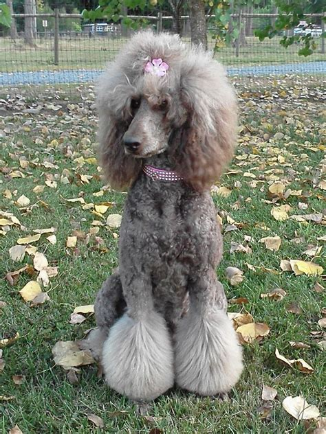how to get a ponytail on a poodle pin by mindi moss on poodle doo pinterest poodle