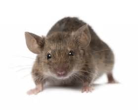 mice control doncaster pest control doncaster call