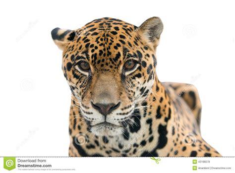 imagenes del jaguar panthera onca jaguar onca del panthera aislado foto de archivo