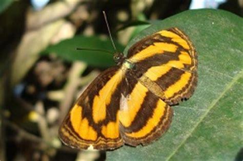 Teh Javana Satuan butterfly