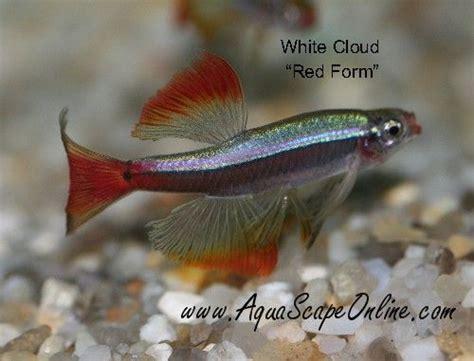 aquascape online long finned white cloud minnow freshwater nano pinterest