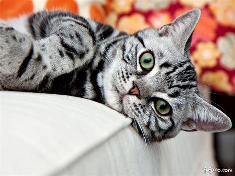 American Shorthair   Raças de Gatos