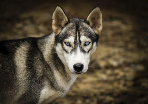 husky puppy care why do husky dogs blue care daily puppy