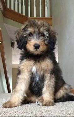 tiny bernedoodle puppies for sale puppys orlando and the cutest on