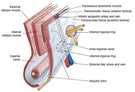 diagram of inguinal canal the inguinal canal is bounded superficially by the