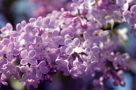 fiori aprile fiori di aprile fiori idea immagine