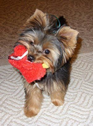 hypoglycemia in yorkie puppies yorkie hypoglycemia yorkie splash and shine