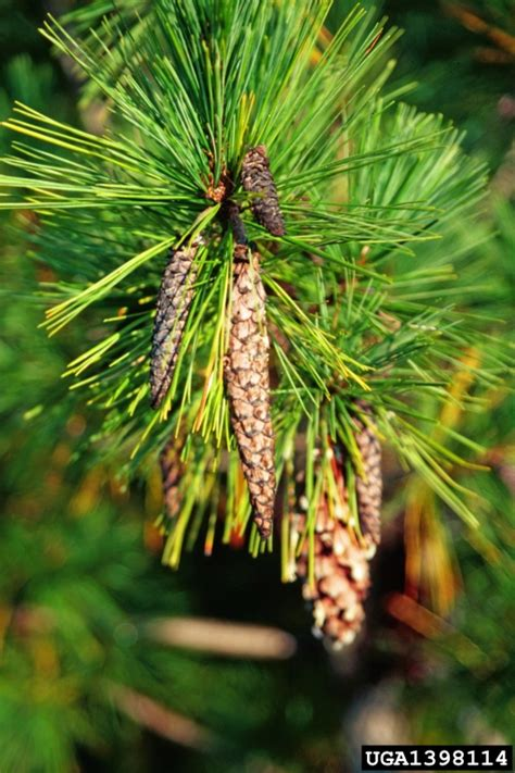 white pine cone white pine cone beetle conophthorus coniperda on