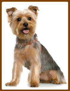 how to cut a skye terriers hair male yorkie cute hair cut gus yorkie pinterest