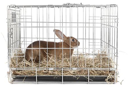 Cage Confirmed As Liberace Favorite by Rabbit Traps Well Them Is Outrageously Easy