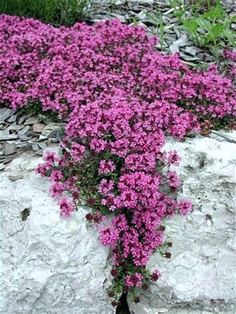Bibit Benih Seeds Creeping Thyme For Ground Cover Creeping Thyme Fragrant Groundcover Hardy 1000 Bulk Seeds Sun Or Shade Herb Zahra