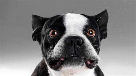 cute funny animalz funny french bulldog  latest images  wallpapers