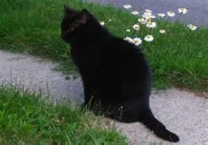 gatti neri foto haisentito