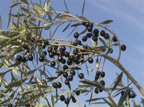 concime per olivo in vaso nitrophoska 174 20 5 10 una certezza nella