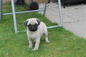 Pugs For Sale In Baby Black Pugs For Sale