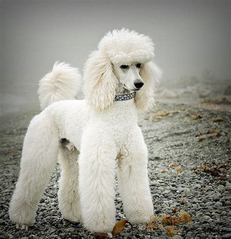 poodle haircuts images 15 poodles with better hairstyles than you