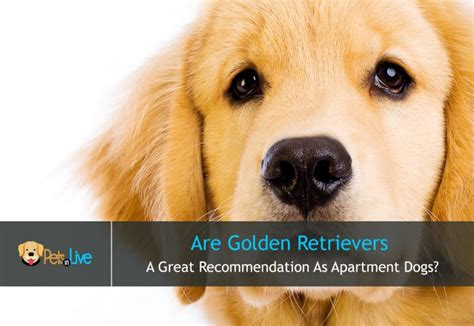 golden retriever in apartment golden retriever in apartment apartment decorating ideas