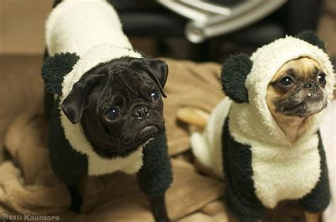 pug panda costume 17 best images about pugs in costumes d on a pug spock and pug