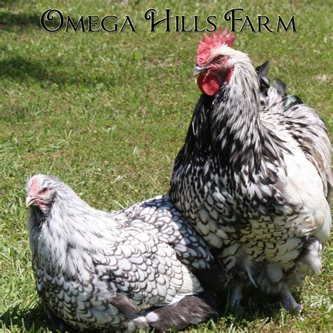 english silver laced orpington chickens  hatching eggs