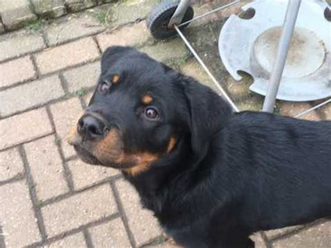 rottweiler puppies for sale manchester rottweiler dogs and puppies for sale in the uk pets4homes