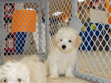 free puppies in columbia sc havatese puppies dogs for sale in columbia south carolina sc mount pleasant